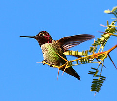 "Male Anna's Humming bird ""Calypte anna"" about to take flight (gbrummett) Tags: arizona anna usa bird flight az gilbert humming calypte canon40d maleannashummingbird canon100400islzoommaleannashummingbirdflightcanon40dcanon100400islzoom"