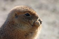 Blijdorp (Eisbeertje) Tags: oktober animal animals zoo rotterdam blijdorp nikon nederland 70300mm 2008 dieren dier tier dierentuin prairidog prairiehondje tieren