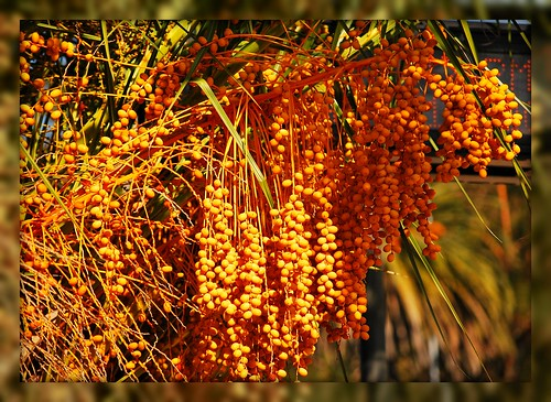 date palm seeds. Carnary Island Date Palm Seeds