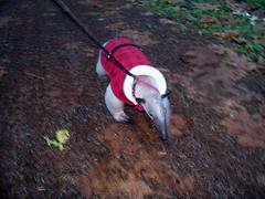 Running anteater