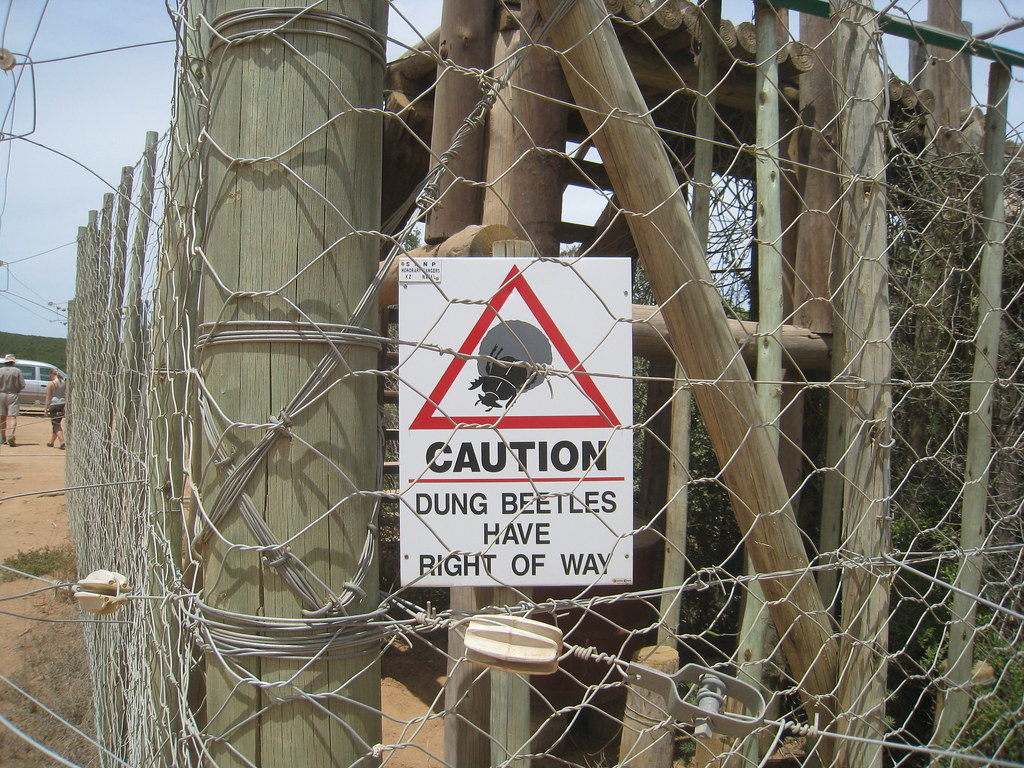 Dung Beetles Have Right of Way - Addo National Elephant Park
