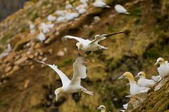 Northern Gannet (Michael Zahra) Tags: ocean sea canada motion bird newfoundland fly wings action atlantic maritime avalon soar capestmarys northerngannet ar1 mg1381ps001