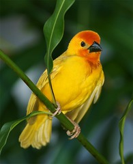 Golden Palm Weaver (Olivier DELAERE) Tags: breathtaking naturesfinest specanimal colorphotoaward avianexcellence theunforgettablepictures goldwildlife breathtakinggoldaward vosplusbellesphotos alittlebeauty luckyorgood
