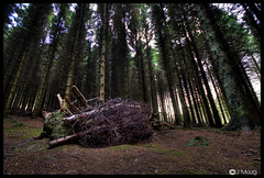 kerrs wood (John Moag) Tags: wood uk ireland tree wind bangor down damage ni northern blown kerrs craigantlet