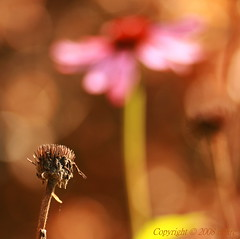 "The seedhead said ""I used to be ..."" (_nejire_) Tags: old pink red brown plant flower macro green nature yellow canon scarlet eos flora kiss pretty sad echinacea bokeh young explore aged tamron 90mm inevitable 15faves 30faves fave20 10faves 20faves 25faves masterphotos nejire 400d eos400d fave15 kissx fave10 fave30 1045am mhashi fave25 5718396g930pm 6220416g1130pm 8223506g700am"