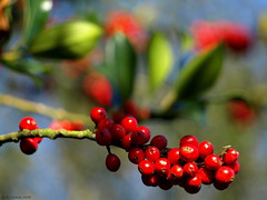 Berry red (ExeDave) Tags: uk november blue autumn red england plant tree bush berry flora berries holly explore devon gb starcross ilexaquifolium aquifoliaceae slightcrop interestingness500 hbw teignbridge wildtree hbwe moreorlessastaken