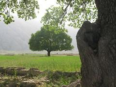 summer (Mahsa3611) Tags: wood summer tree green leaf تابستان ایران mahsa درخت سبز چوب مهسا shadaei mahsa3611