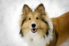 Ollie Bear (Kerfuffle~) Tags: winter dog snow sheltie ollie shetlandsheepdog interestingness282