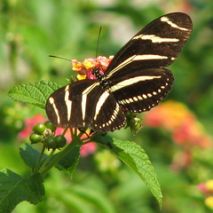 12 Days of Christmas Butterflies - #5 Zebra Longwing (Vicki's Nature) Tags: canon butterfly georgia zebra cnc s5 zebralongwing unature natureoutpost heliconiuscharitionius vickisnature natureselegantshots thebestofmimamorsgroups 12daysofchristmasbutterflies bwcgspotsstripes bwcgstripes bwcgqvz