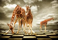 HDR Antwerp Antwerpen Giraffes (Dimitri Depaepe) Tags: sky bw color texture animal clouds grey zoo blackwhite bravo floor stones surreal beast antwerp giraffe hdr antwerpen ilooooovethis dimitridepaepe