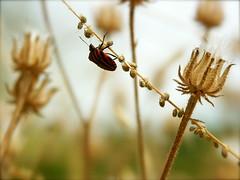 La guirlande et la punaise (philippe cochard) Tags: macro fleur philippe couleur guirlande punaise fane petiteshistoiressansparoles cochard