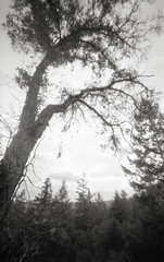 2008-12-17 zero bw001 rt (peterthomsen) Tags: bw white black tree 120 film oak kodak tmax branches 4 pinhole 400 zero69