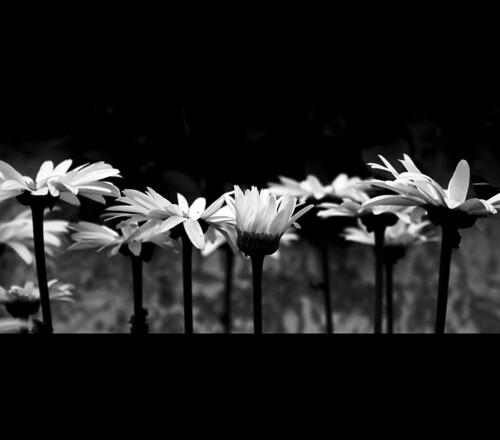 Margaritas En Blanco Y Negro Puro Optimismo Florencia Flickr