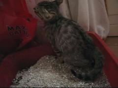 Gatto Mimmo cacca di Natale (Gatto Mimmo) Tags: cats film cat movie video chat action tabby wc gato shit gatto mimmo cacca