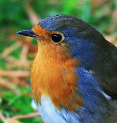 Robin Redbreast (Chris*Bolton) Tags: christmas ireland bird robin festive flickr searchthebest batman greetings soe avian yuletide potofgold naturesfinest blueribbonwinner otw beautysecret supershot rathdrum abigfave theloveshack platinumphoto anawesomeshot avianexcellence diamondclassphotographer theunforgettablepictures theperfectphotographer goldstaraward natureselegantshots multimegashot flickrlovers flickcolour vosplusbellesphotos flickrclassique