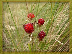 Wild raspberry native to Australia (Tatters:)) Tags: red wild berry australia explore qld queensland getty raspberry edible rubus rosaceae  rubusparvifolius nativeraspberry bunyamountainsnationalpark australianrainforestplants arffs gettysept09