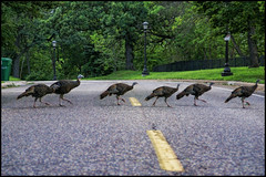 saint paul city turkeys (Dan Anderson (dead camera, RIP)) Tags: road street city minnesota birds st turkey river paul wildlife turkeys mn