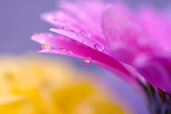 More pretty colours ............ (linlaw39) Tags: flower flowers pink yellow nature macro closeup september blur dof purple waterdrops water drops soe coth concordians theunforgettablepictures bej colourful sparkling sparkles sparkle shine vibrant life mostinterestingnovember09 competitionwinner unforgettableflowerscontest38 saariysqualitypictures vividstriking platinumpeaceaward refraction unforgettableflowers2009 gallery linlaw39 garden persephonesgarden scotland weather wet raindrops interesting interestingness bokeh bestcapturesaoi elitegalleryaoi