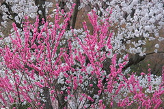 Peach and cherry blossoms (Sky-Genta) Tags: spring peach cherryblossom