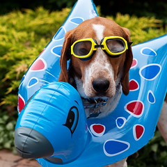353/365 Aqua Hound (Paguma / Darren) Tags: dog toy goggles hound inflatable floyd