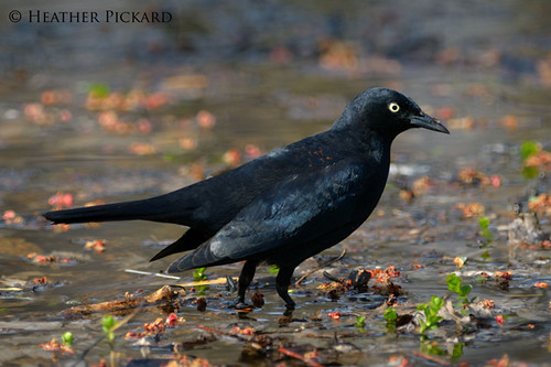 Malr Rusty Blackbird
