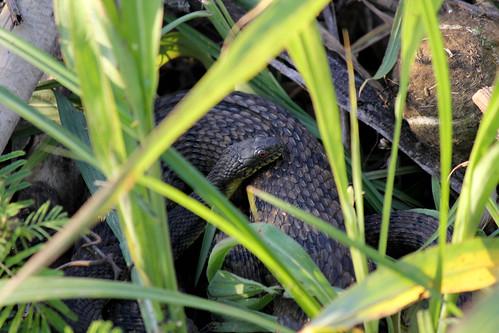 Snakes Cuddling