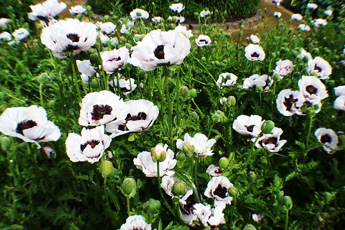 White Poppies at Pollock House
