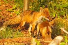 MAP2406 Clean behind Your Ears (maryanne.pfitz) Tags: nature animal forest mammal photo wildlife grooming fox kit redfox