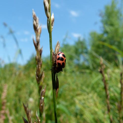 Ohio Ladybug