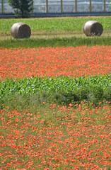 Campi primaverili (ScaniaTheKing87) Tags: red italy nikon italia poppy poppies land campo hay balla bale rosso brianza papaveri lombardy fieno papavero 2011 velate usmate d3000