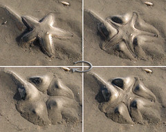 Hiding Starfish (Hamed Saber) Tags: ocean sea beach star iran starfish sands persiangulf bandarabbas hormozgan    upcoming:event=418807 dolatpark