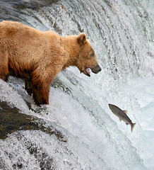 Advantage: Grizzly (Rob Kroenert) Tags: bear park fish alaska waterfall fishing wildlife salmon falls lodge national grizzly brooks katmai katmainationalpark