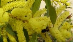 Mimosas 4 (alceste83) Tags: abeilles mimosas