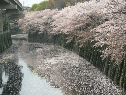 Petals of Cherry Blossoms flowing down the river