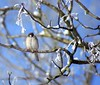 Chuppy little fellah (Jaedde & Sis) Tags: snow bird wrestler sis thumbsup treesparrow passermontanus twothumbsup gamewinner skovspurv challengeyouwinner 3waychallengewinner flickrchallengegroup friendlychallengewinner tuw121