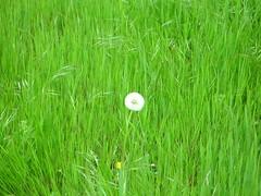 IMGP1692 (gzammarchi) Tags: verde italia colore natura fiore paesaggio collina monocrome tarassaco dozza camminata piumino itinerario dozzabo erbafieno