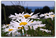 the power of attitude (suesue2) Tags: flowers vacation daisies bravo michigan archives mackinacisland lastsummer inspirationalmessage suesue2 amazingmich positivethinkingeveryday