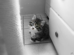 My little cat! (B@rbar@ (Barbara Palmisano)) Tags: pet cute animal cat kitten gato simba gatto animale siberiancat cucciolo siberiano mywinners kissablekat gattosiberiano