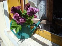 Au bord de la fentre-8 (Julie70) Tags: flowers france window fleurs garden jardin vase afterclass 2008 argenteuil lilas arrosoir lillac sonydscw200 photojulie70