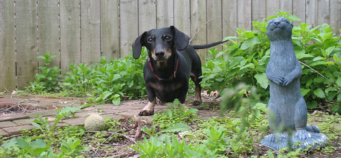 Dachshund, ball, weasel, and weeds.