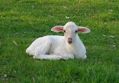Lamb (ylmaz rgn) Tags: animal hayvan kuzu