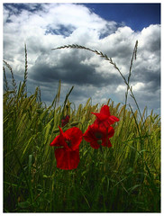 The show must go on (mefistofelicat / Valentina) Tags: flowers italy plants nature natura r fiori abruzzo papaveri grano spiga