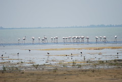 flamingoes (Hari L Ratan) Tags: nature birds chennai flamingoe