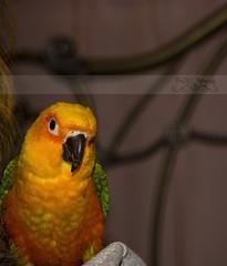 HBW (Free2bJ.C.Photos) Tags: blue orange pet baby sun green bird yellow cutie conure pasha jenday rawformat sundayconure canonrebelxsi allimagesareprotectedundertheunitedstatesandinternationalcopyrightlawsandmaynotbedownloadedreproducedcopiedtransmittedormanipulatedwithoutwrittenpermission ifyoupostphotosinyourcommentsonmyphotospleasemakesuretheyaretheflickrsmallsizethanksifyoupostlargersizeireservetherighttodeleteyourcomment canon28105mmusmlens perchedonmommysshoulder
