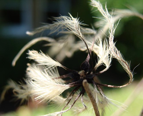Photograph of clematis seedhead by Kirsty Hall