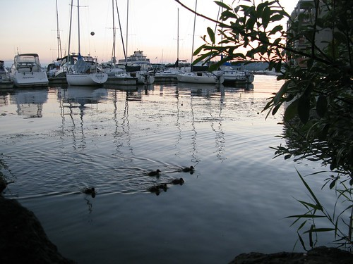 Baby Ducks in Kirkland