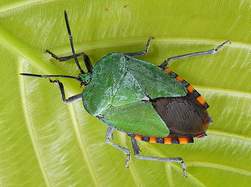 DSC_0077_Stink Bug (Pycanum sp)