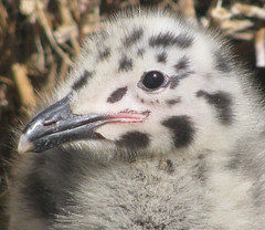 bird face (thesanityproject) Tags: baby cute bird birds animal hair pepper babies salt beak kittens chicks alcatraz westerngull majestic fledgling fuzz coziness saltandpepper frizz ggnra niceness babyanimal fledgeling birdface birdkittens
