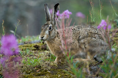 European Hare eating grass (tomsun) Tags: grass suomi finland helsinki hare eating helsingfors lauttasaari jackrabbit eatinggrass brownhare lepuseuropaeus europeanhare drums flthare