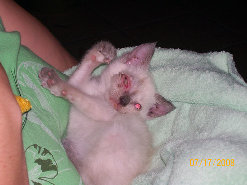 Siamese May Loose Her Eye